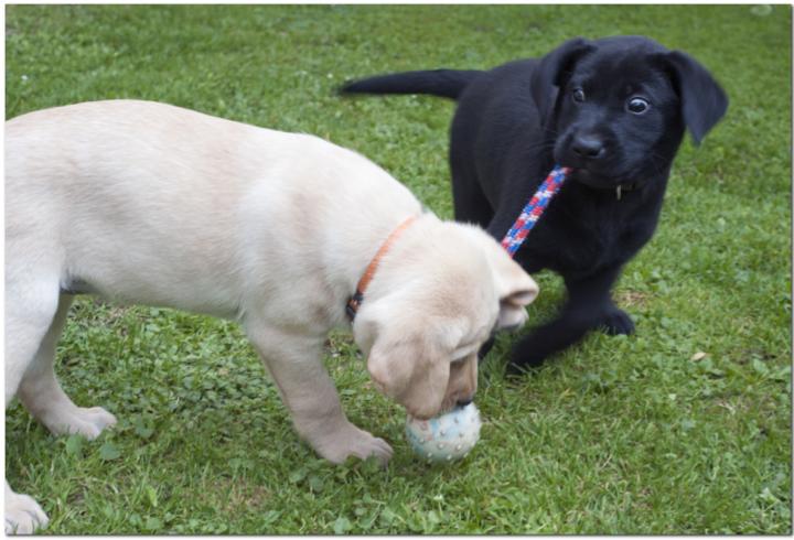 Labrador Welpen spielen mit Ball